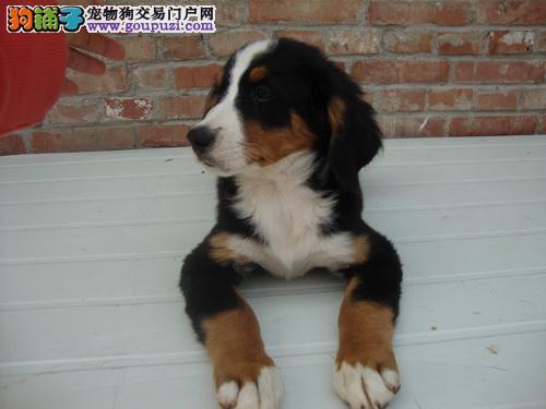 石家庄热卖伯恩山多只挑选视频看狗当日付款包邮