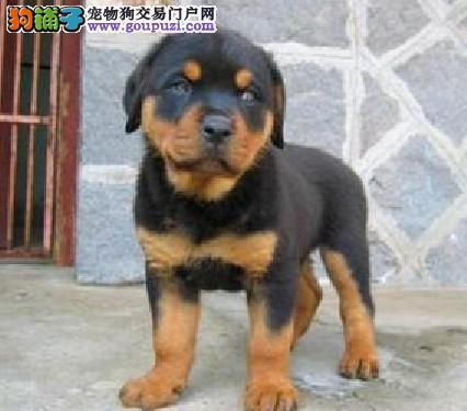 顶级护卫猛犬,纯种罗威纳犬,可以办理血统证书