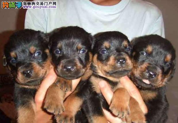 福州出售罗威纳幼犬2 4个月多只可以选择