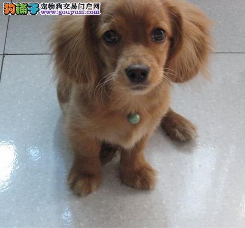 出售纯种赛级品相可卡幼犬免疫驱虫齐全健康