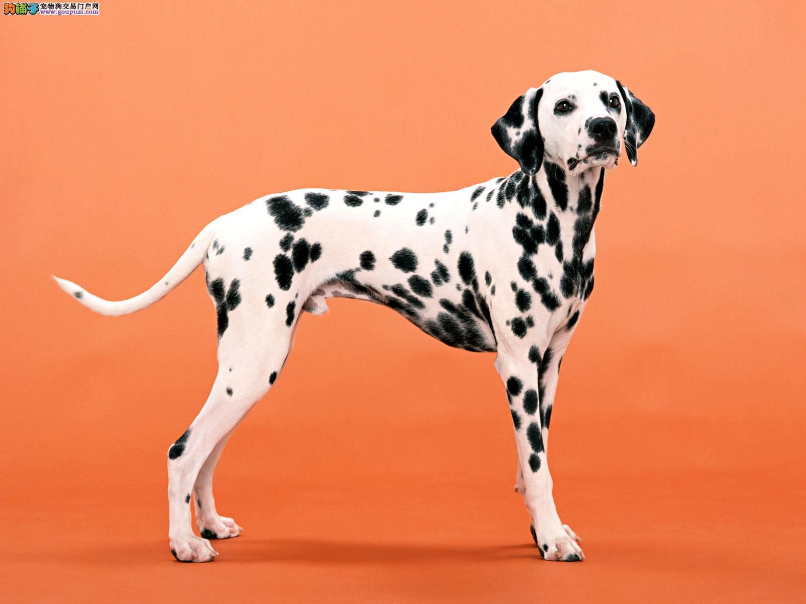 CKU认证犬业正宗斑点狗,实物拍摄,健康包三年