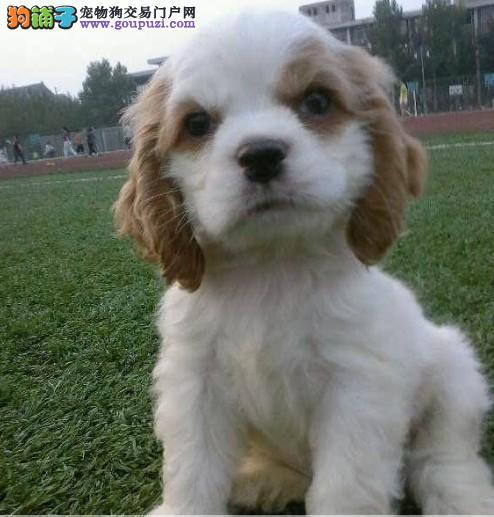 杭州出售英国 美国可卡幼犬 健康质保 公母都很活泼