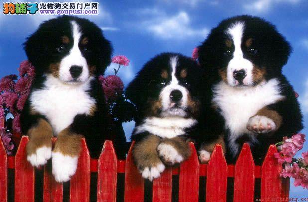 广州伯恩山要多少钱广州哪里有卖伯恩山广州狗场出售