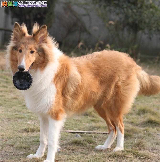 纯种苏格兰牧羊犬幼犬出售包品质签协议