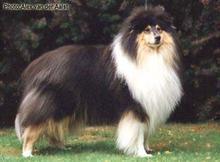 纯种苏格兰牧羊犬赛级血统品相完美品质绝对保证