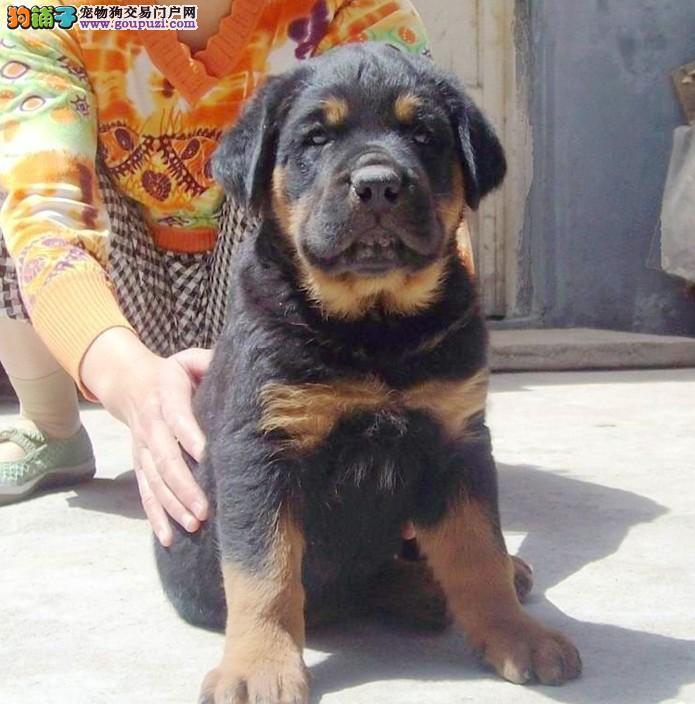 火爆、纯种罗威那犬幼犬宝宝出售保证健康保证纯种