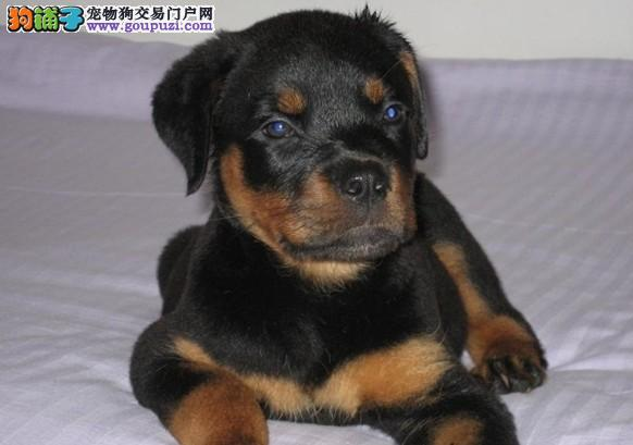 纯种德系罗威纳幼犬出售头版好毛色亮骨架大