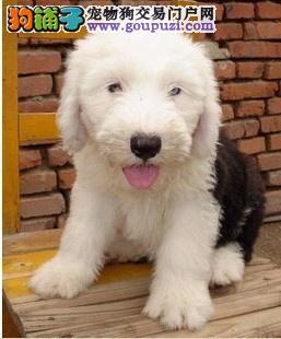 南宁自家繁殖古代牧羊犬出售公母都有购犬可签协议