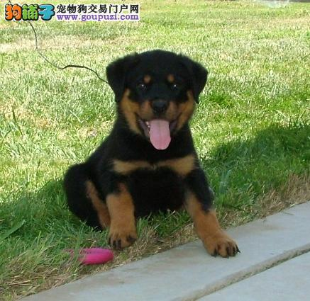 罗威纳幼犬出售品相好,头版好要的致电,咨询加Q