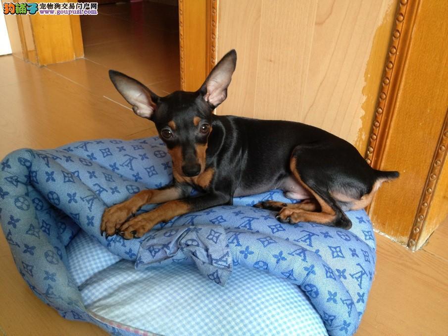 广州哪里有卖小鹿犬 纯种迷你型小鹿犬多少钱