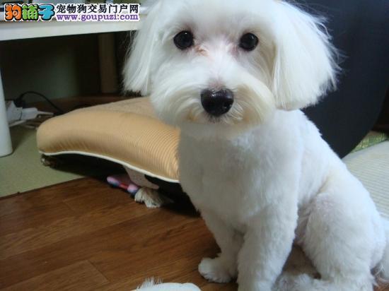 郑州知名犬舍出售多只赛级马尔济斯保证冠军级血统
