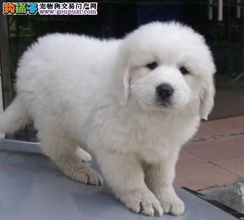 专业繁殖大白熊健康保障纯种幼犬公母齐全