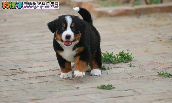贵阳CKU认证犬舍出售高品质伯恩山全国空运发货
