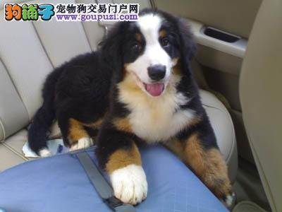 优质大型犬伯恩山幼犬——骨架粗-毛色好-可运
