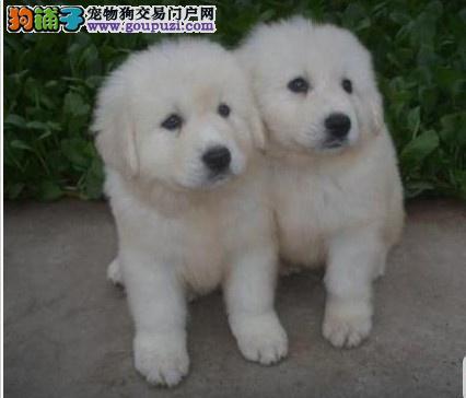 广西哪里有卖大白熊|广西哪里有卖狗的|大白熊