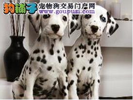 郑州出售极品斑点狗幼犬完美品相血统证书芯片齐全
