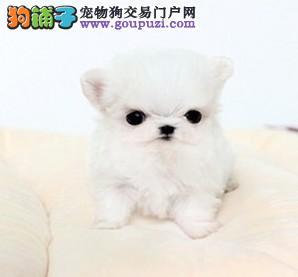 赛级品相济南马尔济斯幼犬低价出售签订三包合同