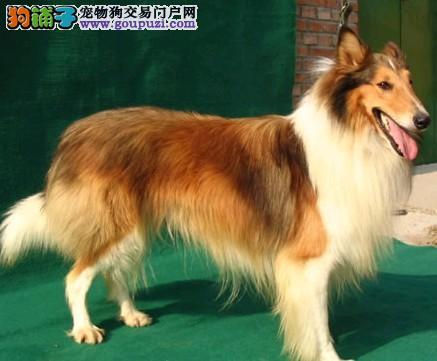 专业繁殖苏牧幼犬特价出售机灵欢迎选购。