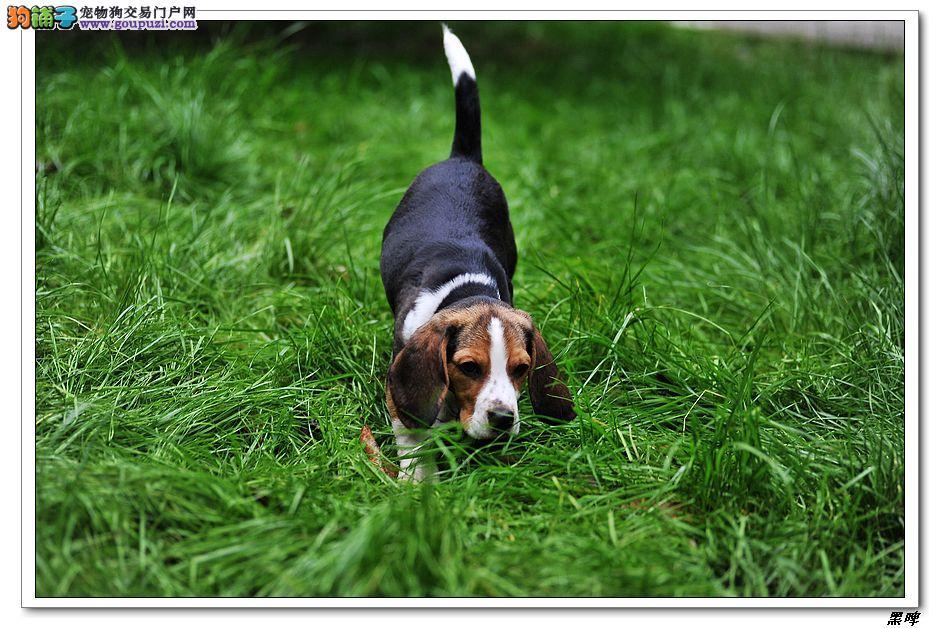 西安养殖场直销完美品相的比格犬最优秀的售后