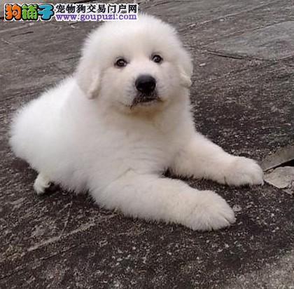 大白熊幼犬正规签协议健康纯种血统高贵质