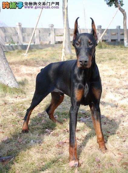 四川杜宾猎犬出售 公母都有 赛级品相保健康协议