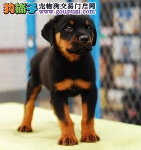 罗威纳犬出售小狗品质好血统OK
