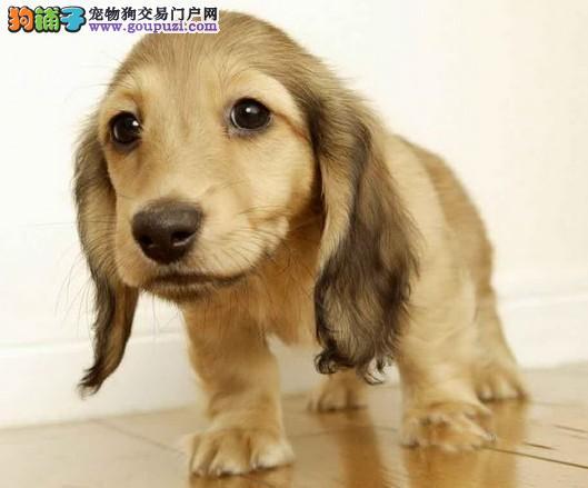 腊肠图片 腊肠价格 腊肠犬出售 哪里出售腊肠犬