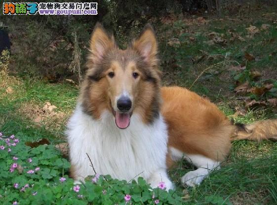 纯种苏牧宝宝郑州地区找主人赠送全套宠物用品