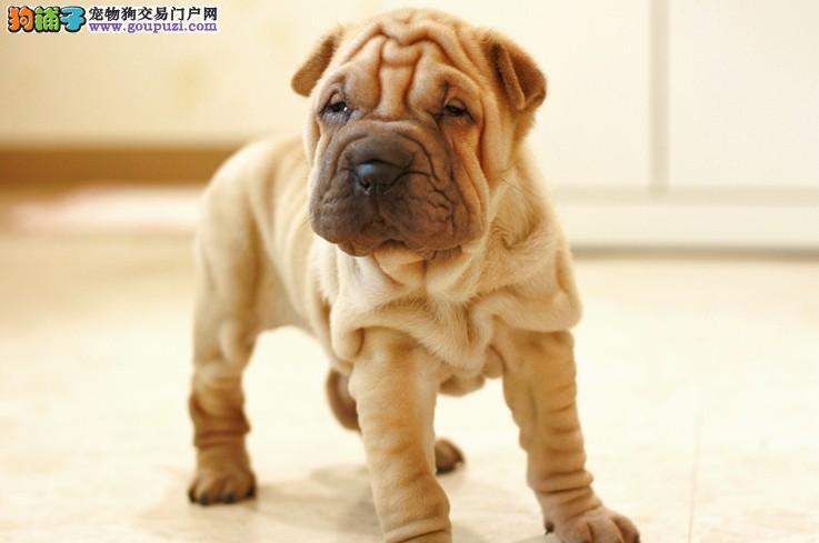 本店出售纯种沙皮幼犬