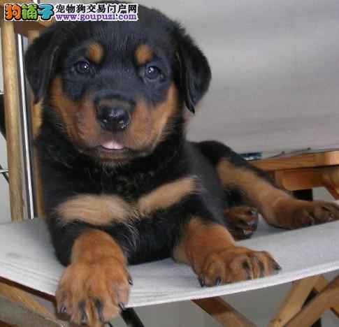 出售罗威纳幼犬-纯种健康-品质终身质保本市免费送货