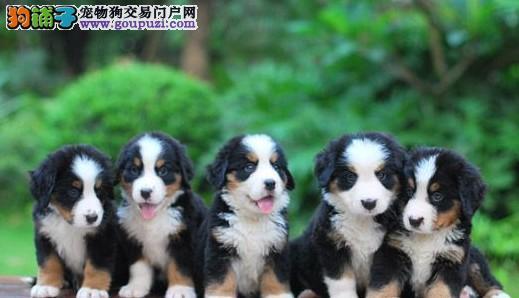 出售纯种健康的成都伯恩山幼犬专业品质一流