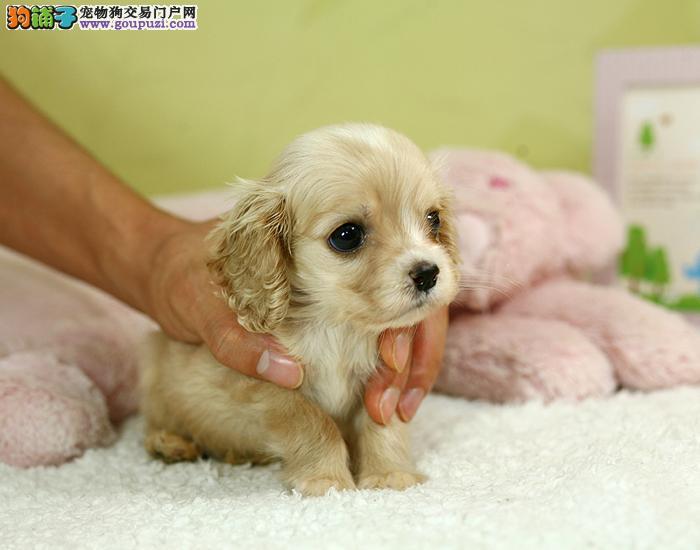 南京哪里有卖可卡犬的 南京有纯种的可卡犬卖吗