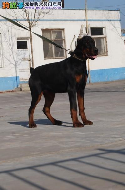 云南买杜宾 昆明哪里有纯种杜宾犬