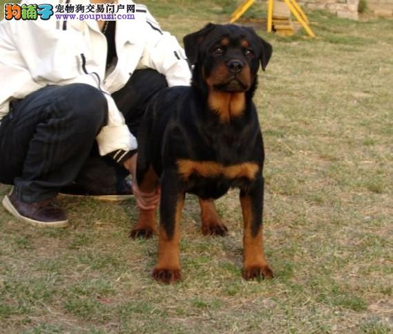 石家庄自家专业繁殖的纯种罗威纳犬