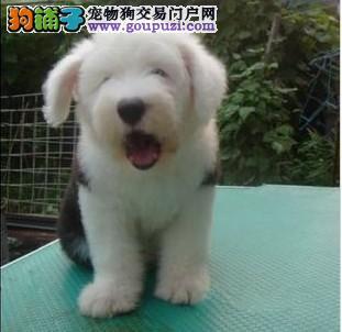 形象佳,气质ok的古牧幼犬,纯白头,纯血统