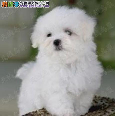出售洁白无瑕 聪明贵气的马尔济斯幼犬 保健康保