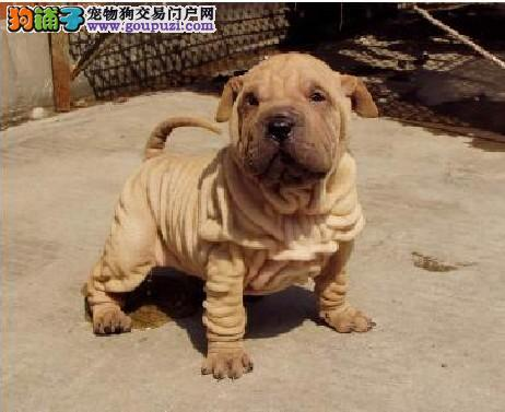 精品高品质沙皮狗幼犬热卖中终身售后协议