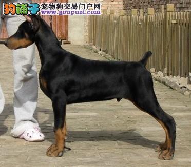 精品德系杜宾幼犬待售 红黑均有 耳朵已经立好
