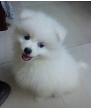 出售精品银狐犬,专业繁殖血统纯正,三年质保协议