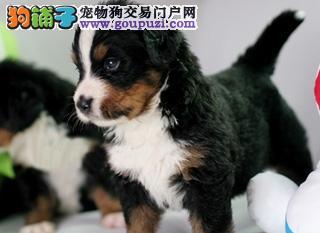 出售纯种健康的伯恩山幼犬同城免费送货上门