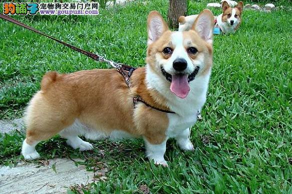 高品质纯种柯基犬签协议保终身 上门均可见狗父母