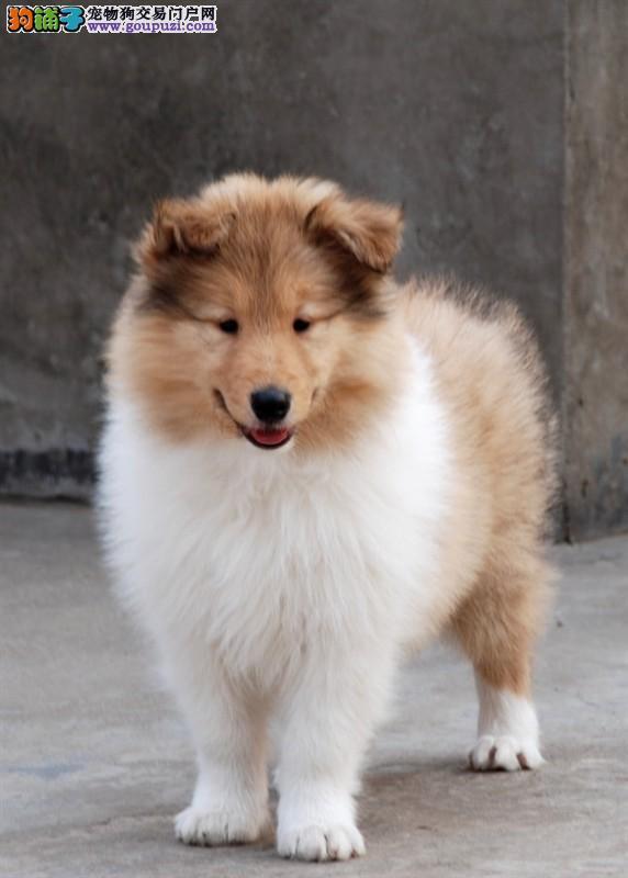 中型犬喜乐蒂深圳哪里有卖喜乐蒂价格要多少钱喜乐蒂