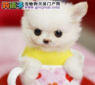 杭州出售茶杯犬.茶杯博美茶杯袖珍.杭州长不大的茶杯狗
