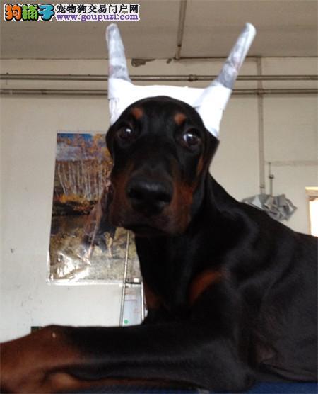出售纯种德系杜宾幼犬 支持支付宝交易