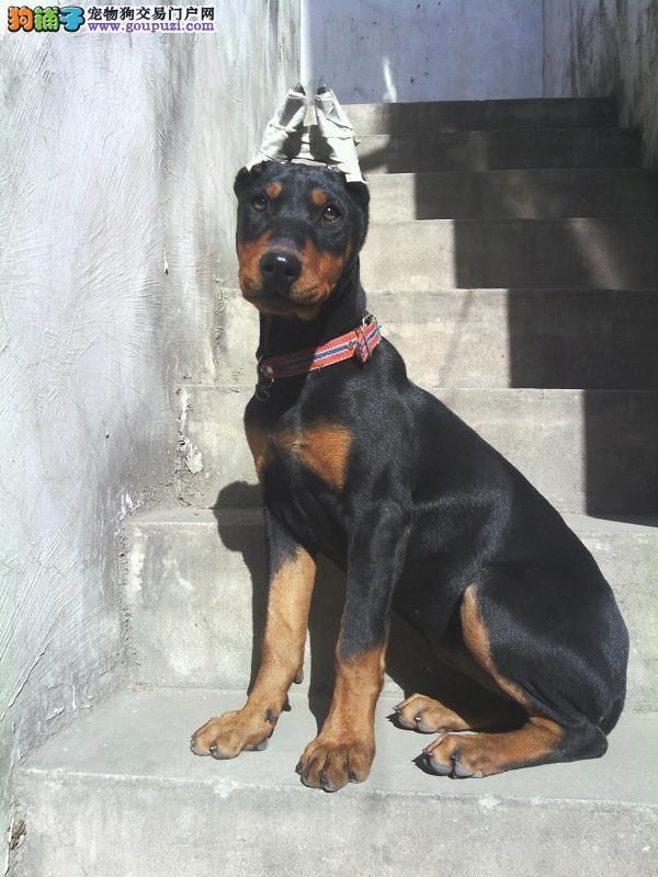 身体结构紧凑,肌肉发达而有力-杜宾犬