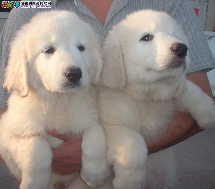 大白熊犬出售 我们用品质征服市场 真诚买卖