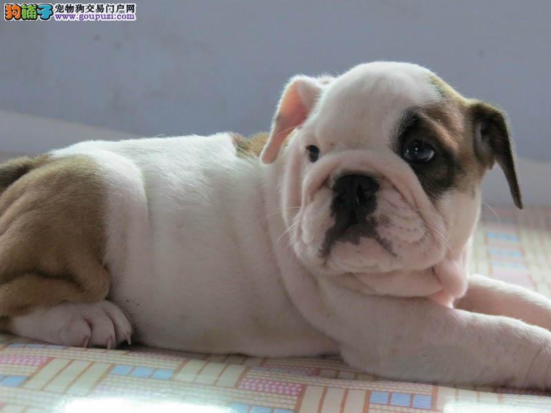 南京正规养殖场出售憨厚体型斗牛犬 公母均有任您挑选