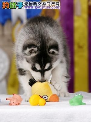 大型专业培育哈士奇幼犬包健康市内免费送货