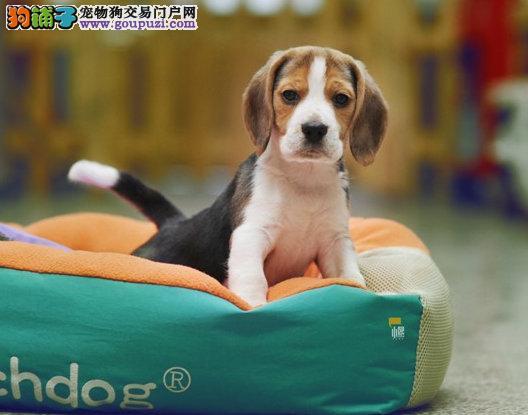 重庆比格犬多少钱,重庆哪里出售比格犬,比格犬照片