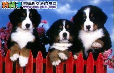 广州伯恩山犬 伯恩山犬什么价格 伯恩山犬多少钱